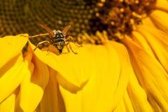 Abeja en una floración del girasol Fotos de archivo