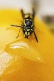 Abeja en una fruta Imagen de archivo