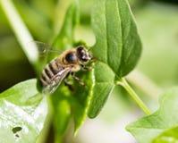 Abeja en una hoja verde en el aire abierto Fotos de archivo