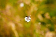 Abeja en una imagen de la flor Fotos de archivo libres de regalías