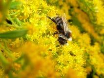 Abeja en una inflorescencia amarilla de una planta Fotos de archivo