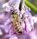 Abeja en una lila de la flor cierre Imagen de archivo libre de regalías
