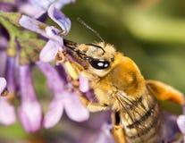 Abeja en una lila de la flor cierre Imagen de archivo