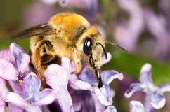 Abeja en una lila de la flor cierre Fotos de archivo libres de regalías