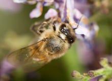 Abeja en una lila de la flor cierre Foto de archivo libre de regalías