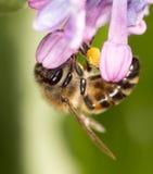 Abeja en una lila de la flor cierre Fotos de archivo