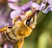 Abeja en una lila de la flor cierre Fotografía de archivo