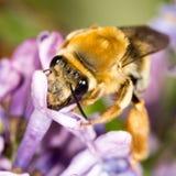 Abeja en una lila de la flor cierre Imagenes de archivo