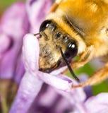 Abeja en una lila de la flor cierre Fotografía de archivo libre de regalías