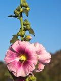 Abeja en una malvarrosa rosada Fotos de archivo libres de regalías
