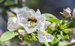 Abeja en una manzana de la flor Foto de archivo