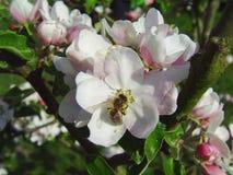 Abeja en una manzana de la flor Fotos de archivo libres de regalías
