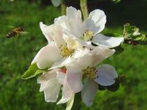 Abeja en una manzana de la flor Imágenes de archivo libres de regalías