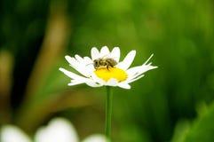 Abeja en una margarita blanca Imagen de archivo libre de regalías
