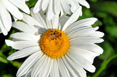 Abeja en una margarita de shasta que recoge el polen Imagenes de archivo