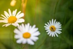 Abeja en una margarita en la primavera Fotografía de archivo libre de regalías