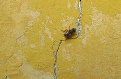 Abeja en una pared amarilla vieja Fotos de archivo