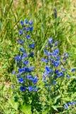 Abeja en una planta del Blueweed Foto de archivo libre de regalías