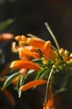 Abeja en una planta que sube anaranjada Imagen de archivo libre de regalías
