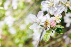 Abeja en una polinización floreciente del manzano Foto de archivo libre de regalías