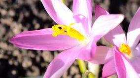 Abeja en una primera flor de la primavera - azafrán almacen de metraje de vídeo