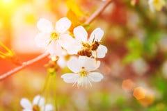 Abeja en una rama con los rayos de sol entonado Fotografía de archivo