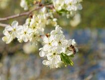 Abeja en una rama de árbol de florecimiento Foto de archivo libre de regalías