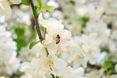 Abeja en una rama de árbol floreciente Fotos de archivo libres de regalías