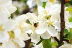 Abeja en una rama de árbol floreciente Imágenes de archivo libres de regalías