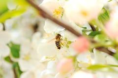 Abeja en una rama de árbol floreciente Imagen de archivo libre de regalías