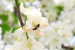 Abeja en una rama de árbol floreciente Imagenes de archivo