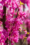 Abeja en una rama de un arbusto floreciente en primavera temprana Imágenes de archivo libres de regalías