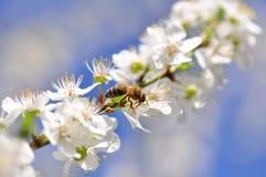 Abeja en una rama floreciente de la cereza Imagenes de archivo