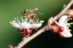 Abeja en una rama floreciente del albaricoque Fotos de archivo