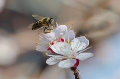 Abeja en una rama floreciente del albaricoque Imagenes de archivo