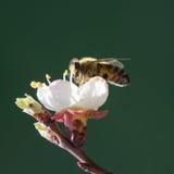 Abeja en una rama floreciente del albaricoque Fotografía de archivo