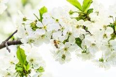 Abeja en una rama floreciente del cerezo Imagen de archivo