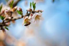 Abeja en una ramificación de la almendra del flor Fotografía de archivo