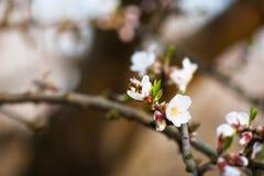 Abeja en una ramificación de la almendra del flor Fotos de archivo
