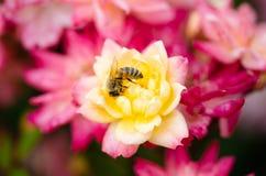 Abeja en una rosa amarilla, primer de la miel Imagen de archivo libre de regalías