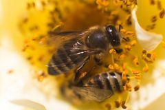 Abeja en una rosa La abeja cerca del pistilo subió Recoja el polen de rosas del jardín foto de archivo