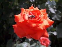 Abeja en una rosa roja en busca del néctar Fotografía de archivo
