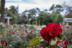 Abeja en una rosa roja en el EL Rosedal Rose Park en el bosque de Bosques de Palermo Palermo - Buenos Aires, la Argentina Fotos de archivo libres de regalías