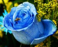 Abeja en una Rose azul Imágenes de archivo libres de regalías