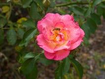 Abeja en una Rose roja Imagen de archivo