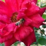 Abeja en una Rose roja Imagenes de archivo