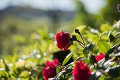 Abeja en una Rose roja Foto de archivo libre de regalías