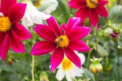 Abeja en una violación de semilla oleaginosa de la flor Imágenes de archivo libres de regalías