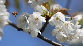 Abeja en vuelo alrededor de las flores de la manzana Imagen de archivo libre de regalías