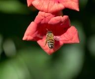 Abeja en vuelo cerca de la flor roja Fotografía de archivo libre de regalías